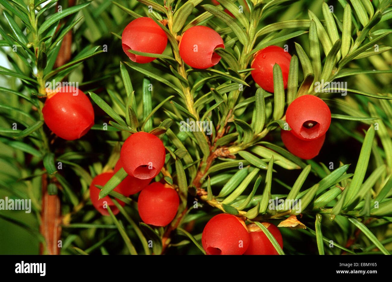 common yew english yew european yew taxus baccata branch with