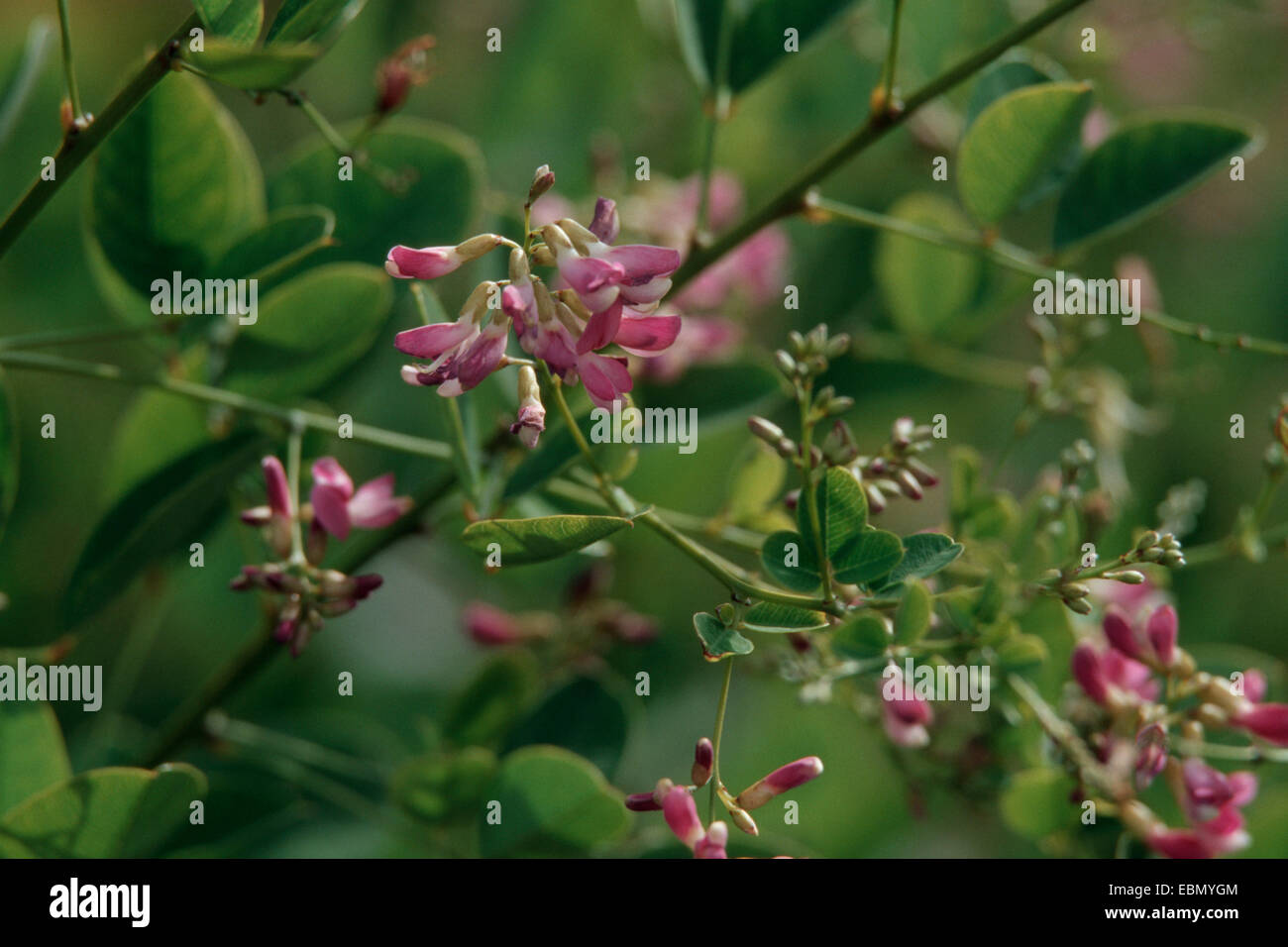 Lespedeza bicolor Bush Clover Bicolor Lespedeza Shrubby Bushclover 50 seeds