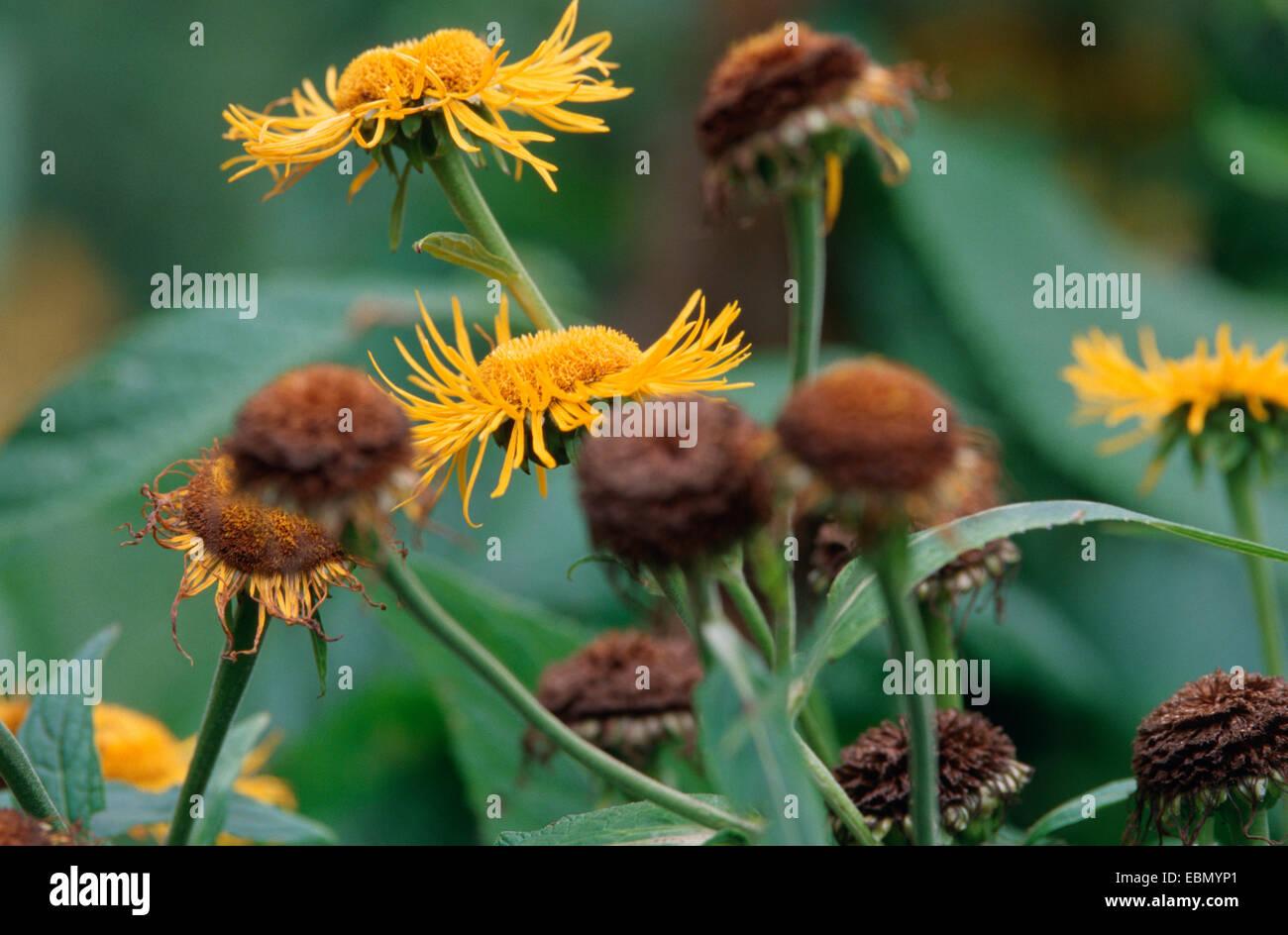 20 x telekia speciosa seed Buphthalmum speciosum