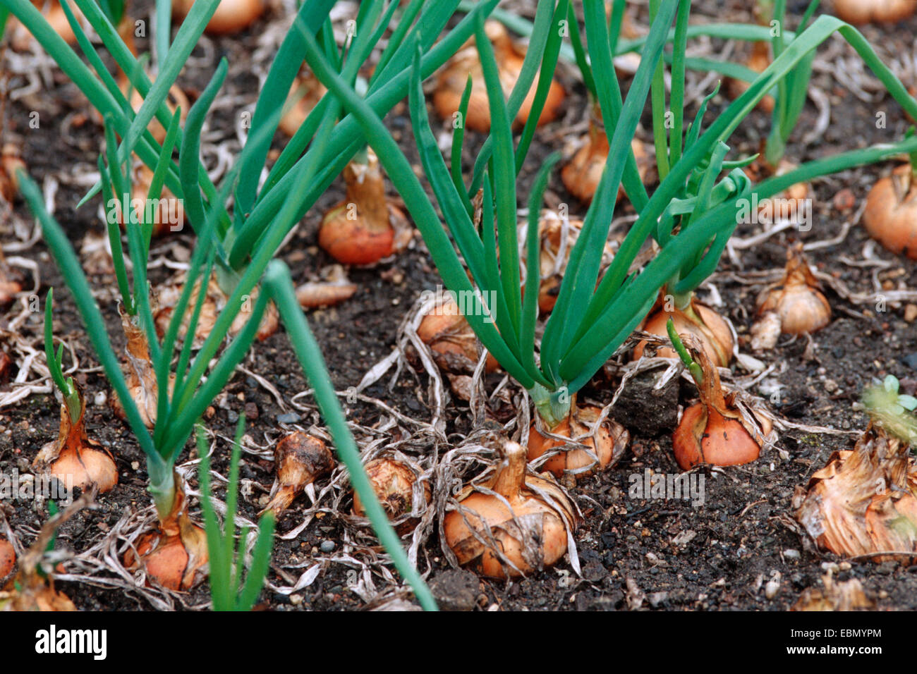 Garden onion, Bulb Onion, Common Onion (Allium cepa), vegetable patch - Stock Image