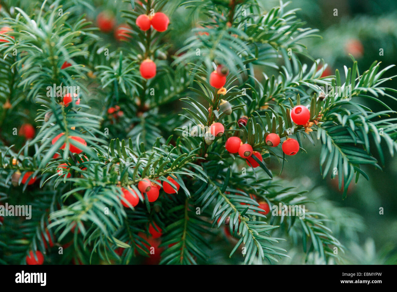 Common yew, English yew, European yew (Taxus baccata), with mature seeds - Stock Image
