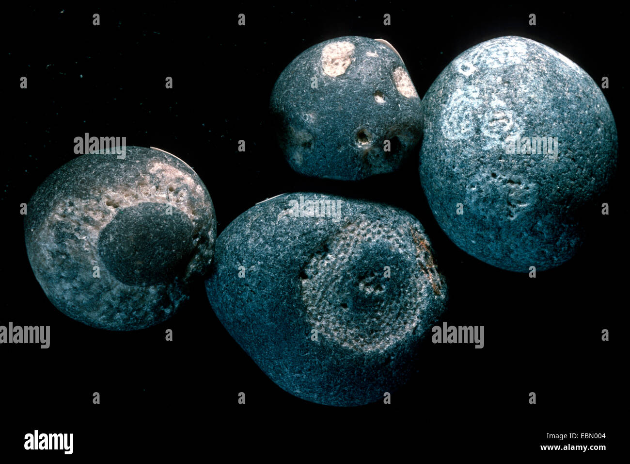 fossilized sponge, upper Cretaceous, Denmark - Stock Image