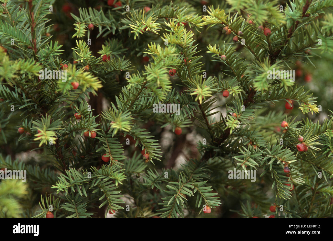 western yew, pacific yew (Taxus brevifolia), branches with seeds, is used against cancer - Stock Image
