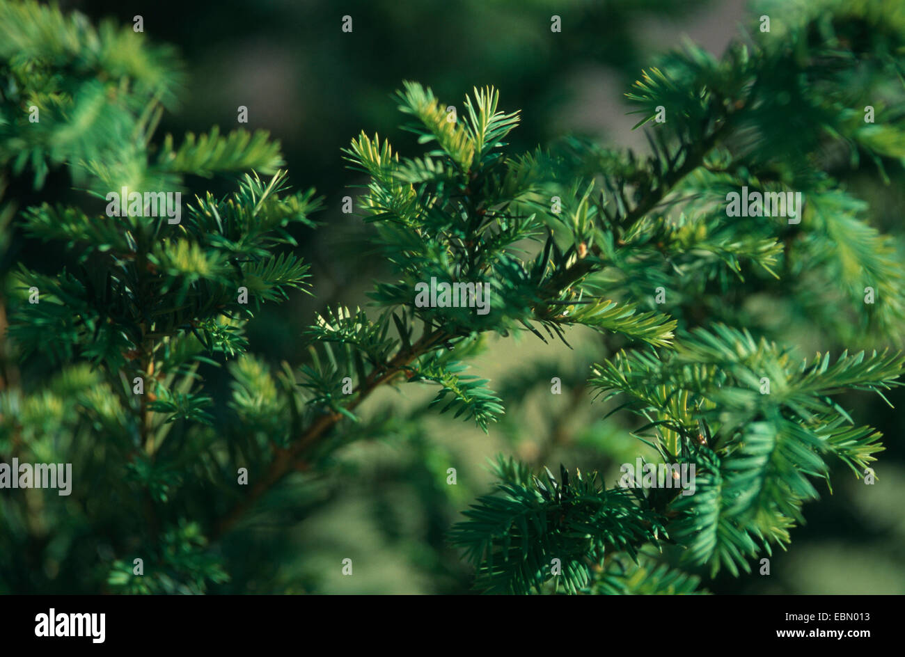 western yew, pacific yew (Taxus brevifolia), is used against cancer - Stock Image