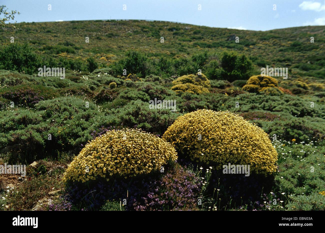 Vella (Vella spinosa), blooming, Spain, Andalusia, Sierra Nevada - Stock Image