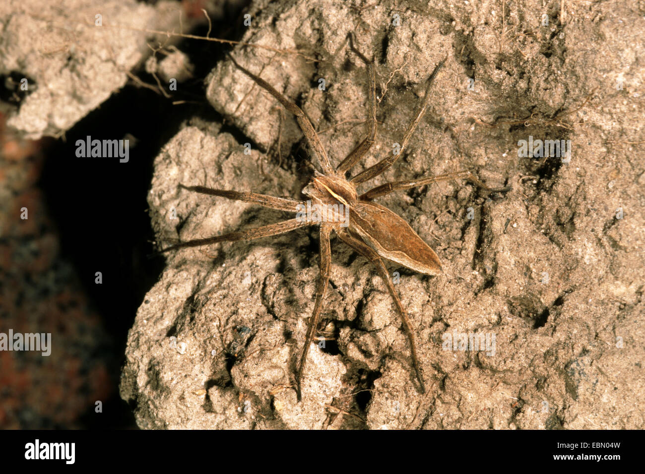 nursery web spider, fantastic fishing spider (Pisaura mirabilis), on a stone, Germany - Stock Image