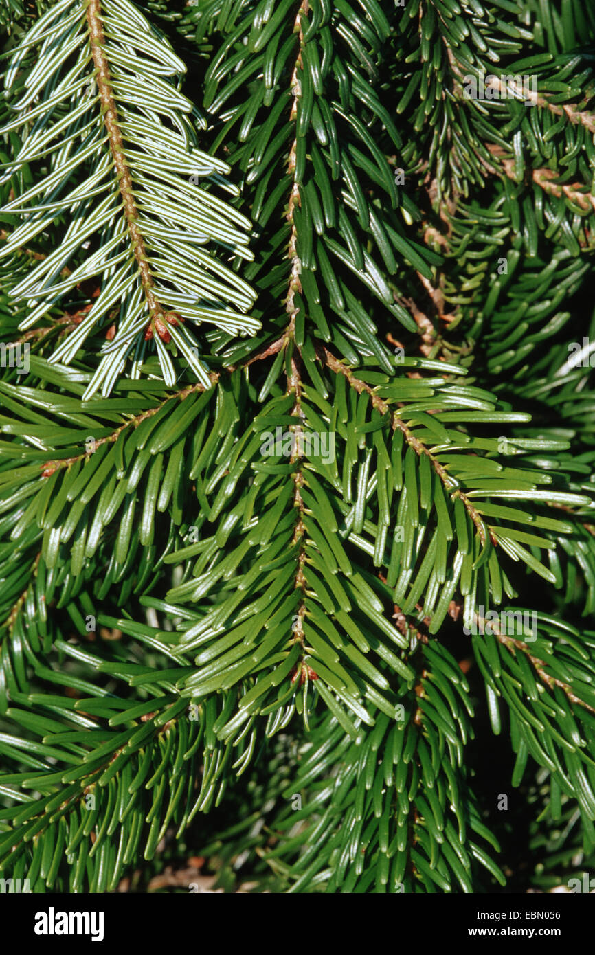 Nordman fir (Abies nordmanniana), branch - Stock Image