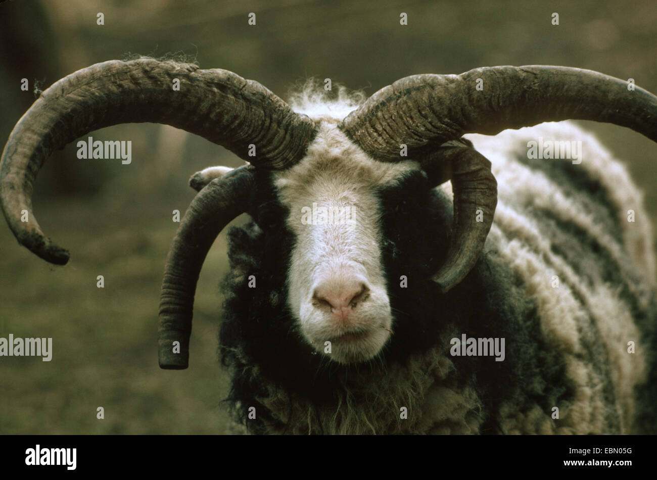 four-horn-sheep (Ovis ammon f. aries), portrait - Stock Image