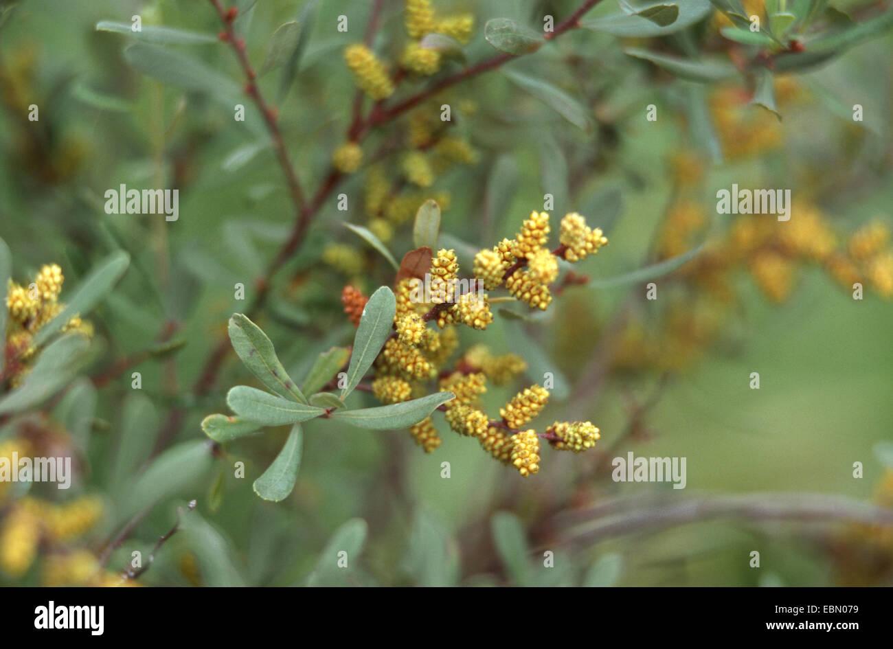 bog myrtle, sweet gale, sweet bayberry (Myrica gale), blooming, Germany - Stock Image