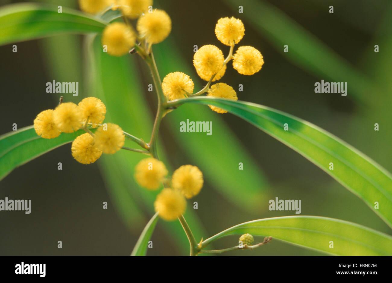 Zig-zag wattle (Acacia macradenia), blooming - Stock Image