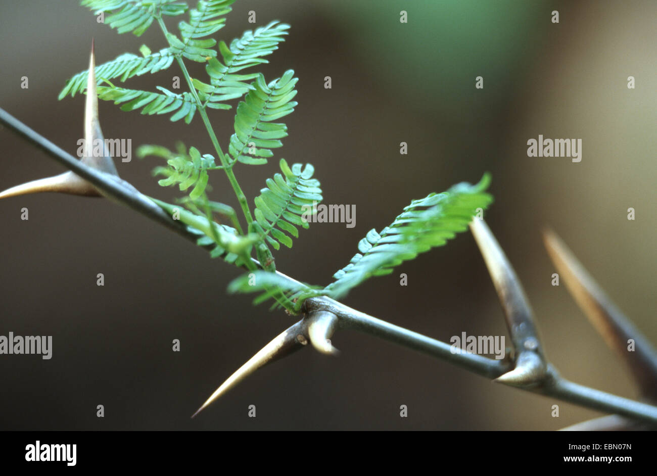 Bullhorn Acacia (Acacia cornigera), twigs with spins - Stock Image