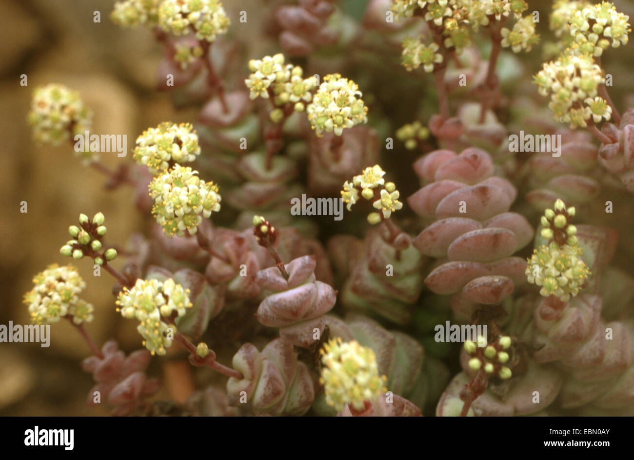 String of Buttons (Crassula perforata), blooming - Stock Image