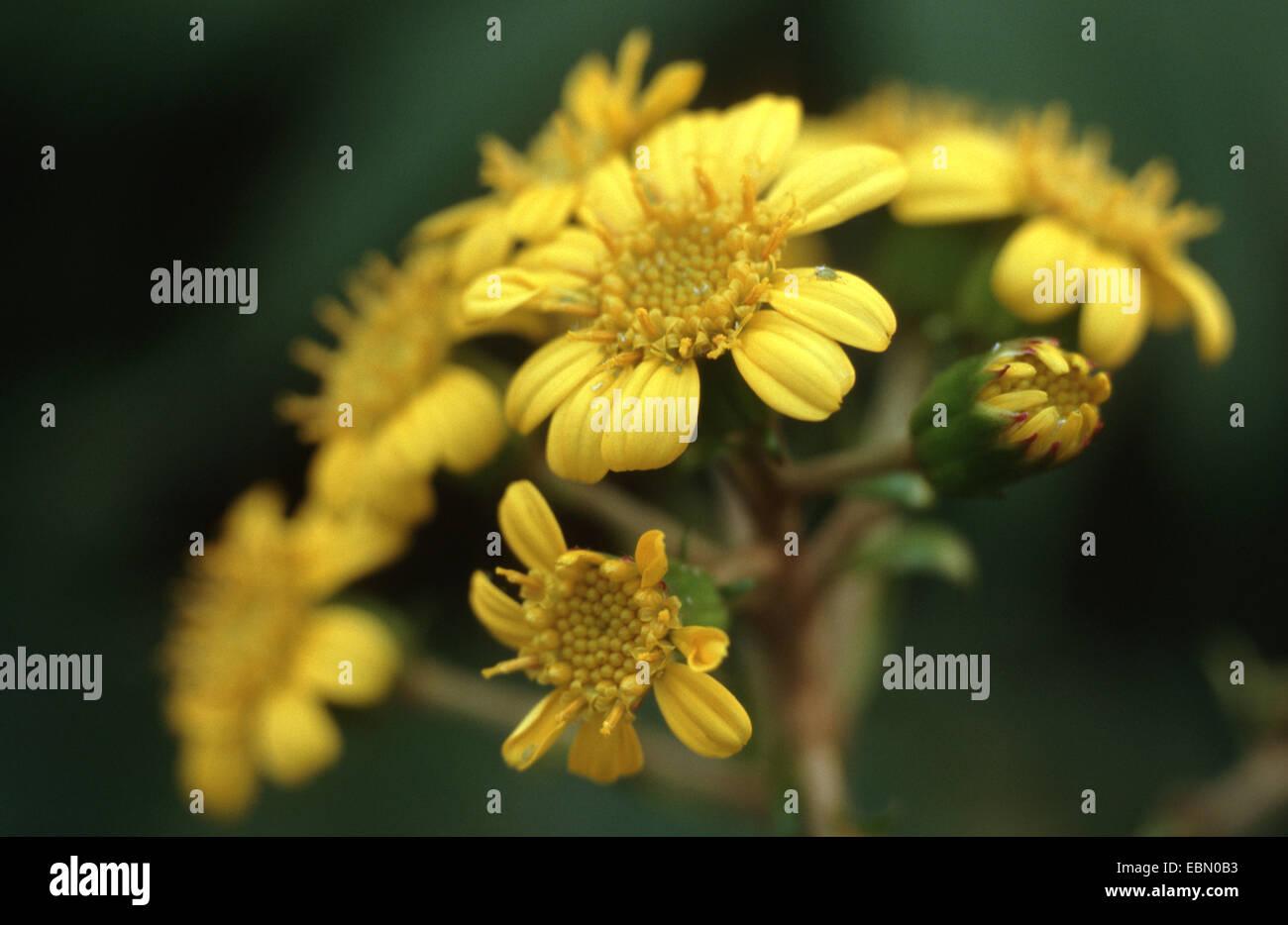 Leopard plant, Green leopard plant (Farfugium japonicum, Ligularia tussilaginea), blooming - Stock Image