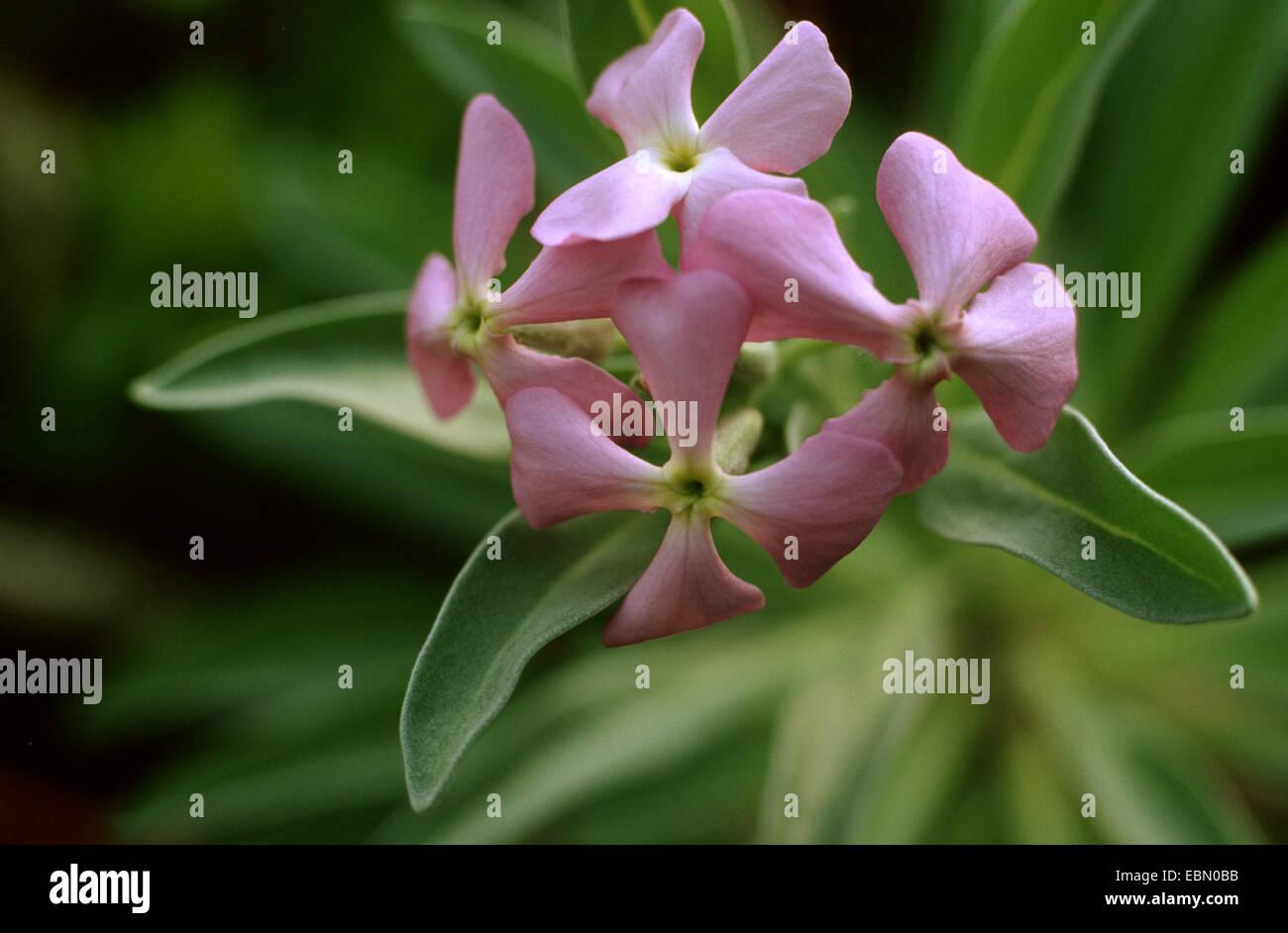 Madeira stock (Matthiola maderensis), inflorescence - Stock Image