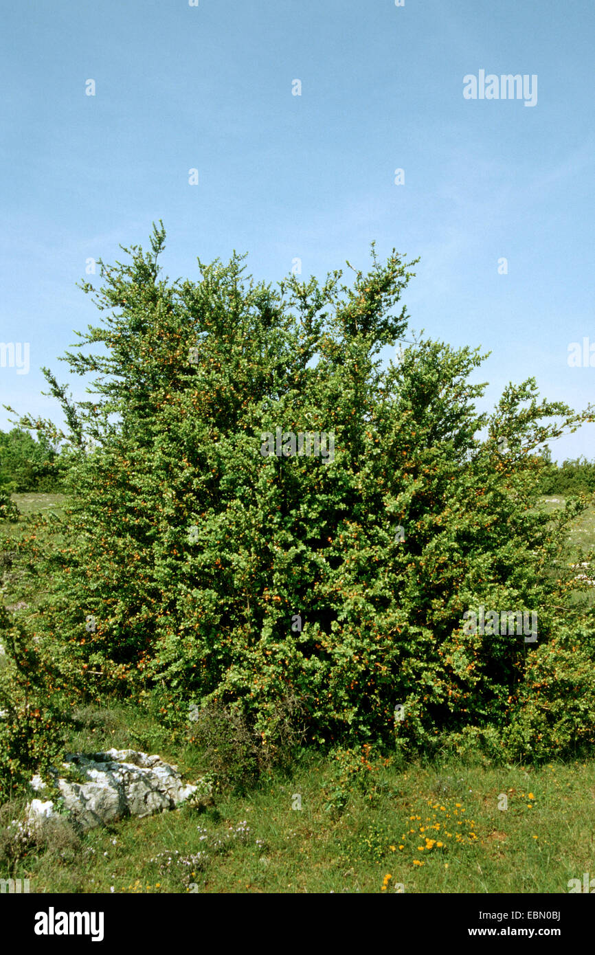 common box, boxwood (Buxus sempervirens), bushs in a meadow, Germany - Stock Image