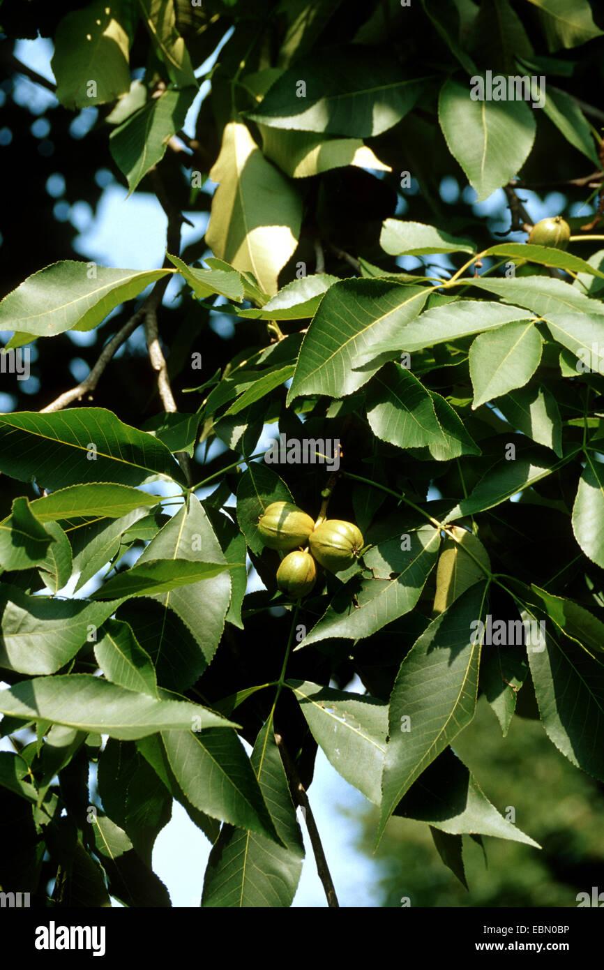 shag-bark hickory, shagbark hickory (Carya ovata), branch with fruits - Stock Image