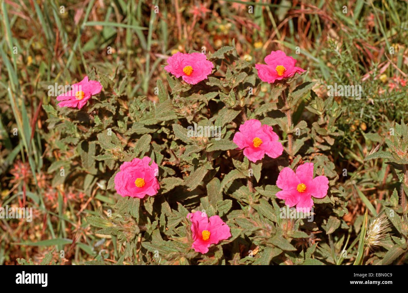 Wrinkle leaved rockrose (Cistus crispus), blooming - Stock Image