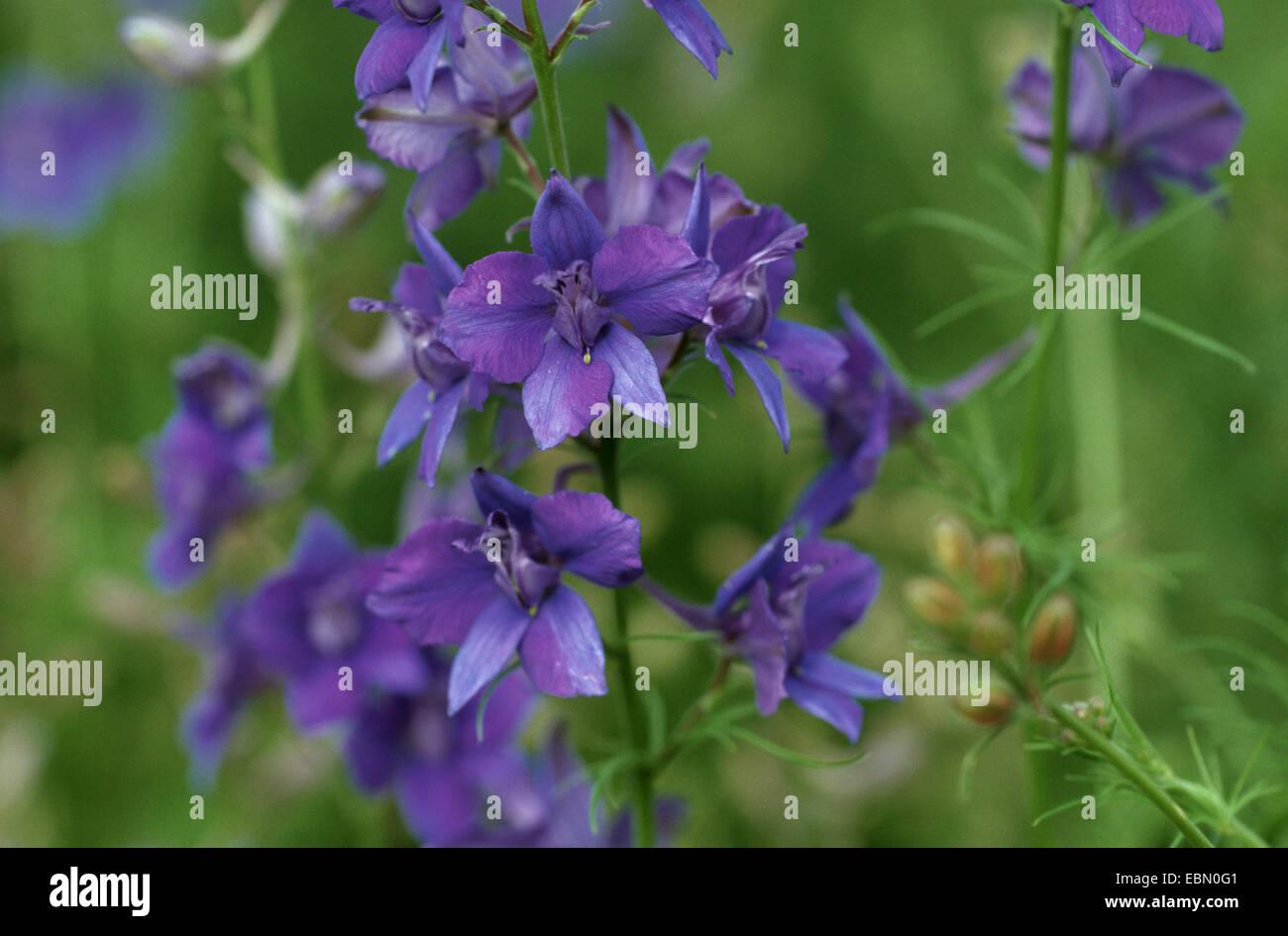 Doubtful knight's-spur, Larkspur, Annual Delphinium (Consolida ajacis, Delphinium ajacis), blooming - Stock Image
