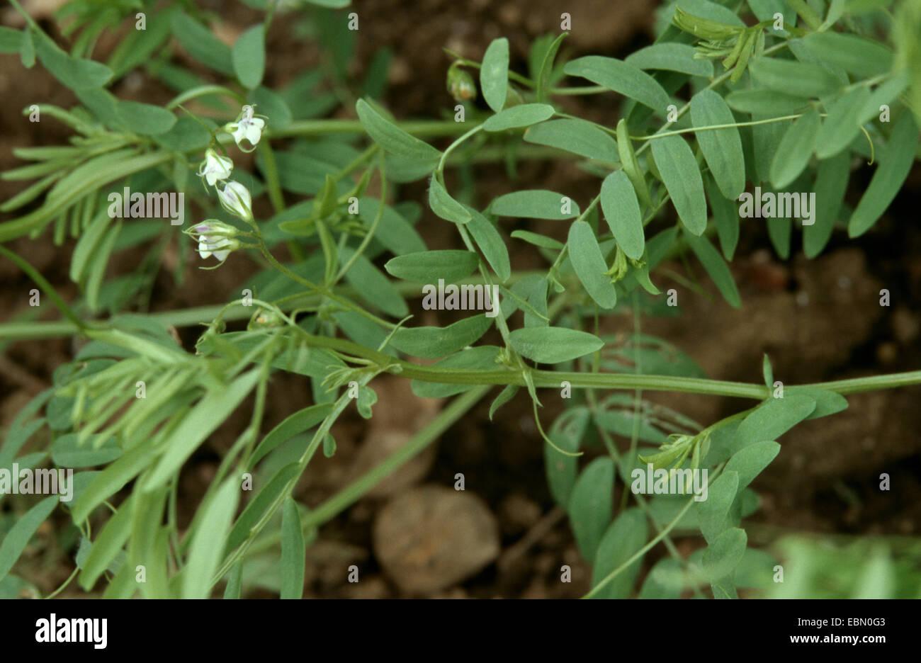 lentils (Lens culinaris), blooming - Stock Image