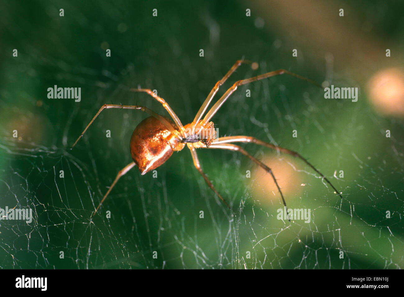 Sheet-web weaver, Line-weaving spider, Line weaver (Linyphia triangularis), sitting in the spider web, Germany - Stock Image