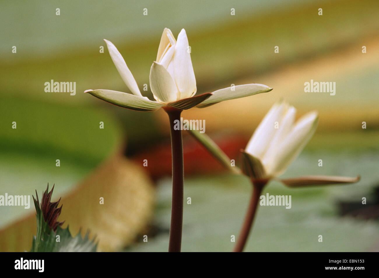 Egyptian Water Lily White Egyptian Lotus Nymphaea Lotus Flowers