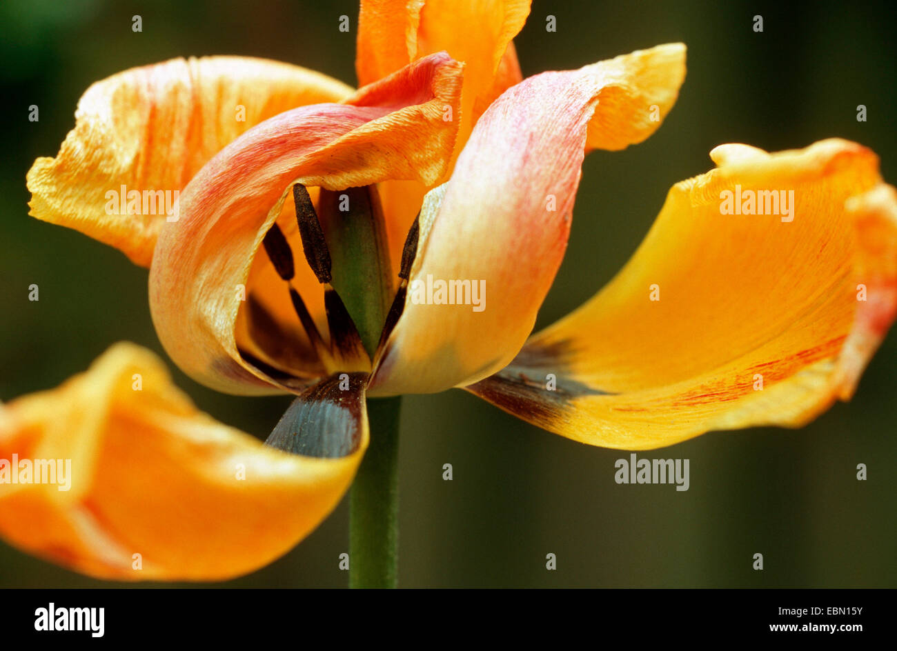 common garden tulip (Tulipa gesneriana), withered yellow tulip - Stock Image