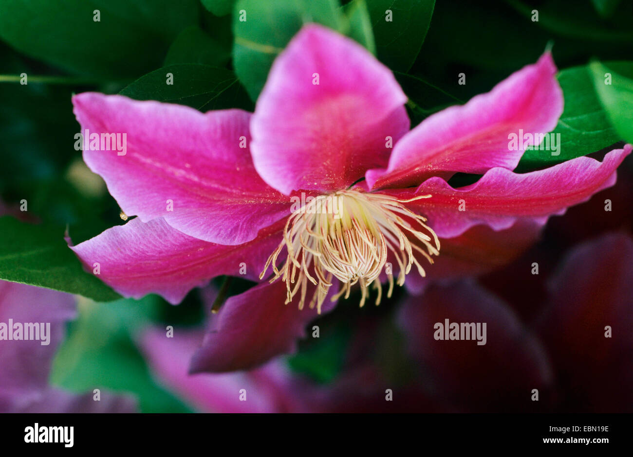 clematis, virgins-bower (Clematis 'Dr. Ruppel', Clematis Dr. Ruppel), cultivar Dr. Ruppel - Stock Image