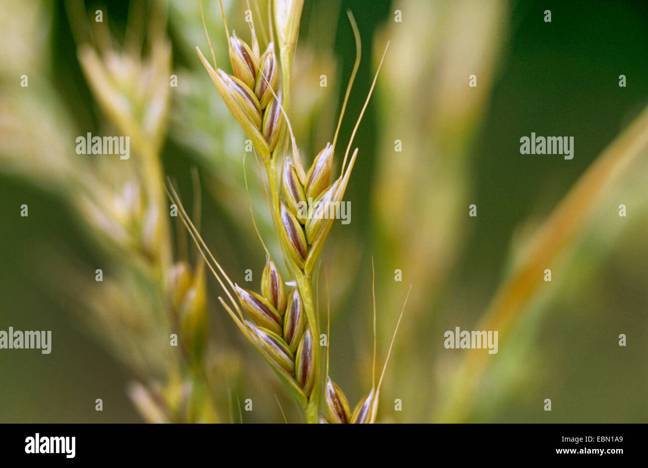 bearded darnel, poison rye-grass (Lolium temulentum), spike, Germany - Stock Image