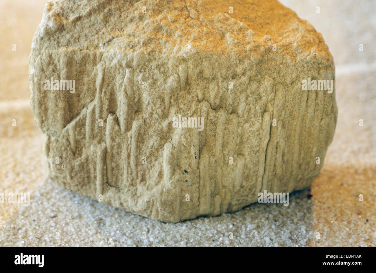 Bergaueria in sandstone - Stock Image
