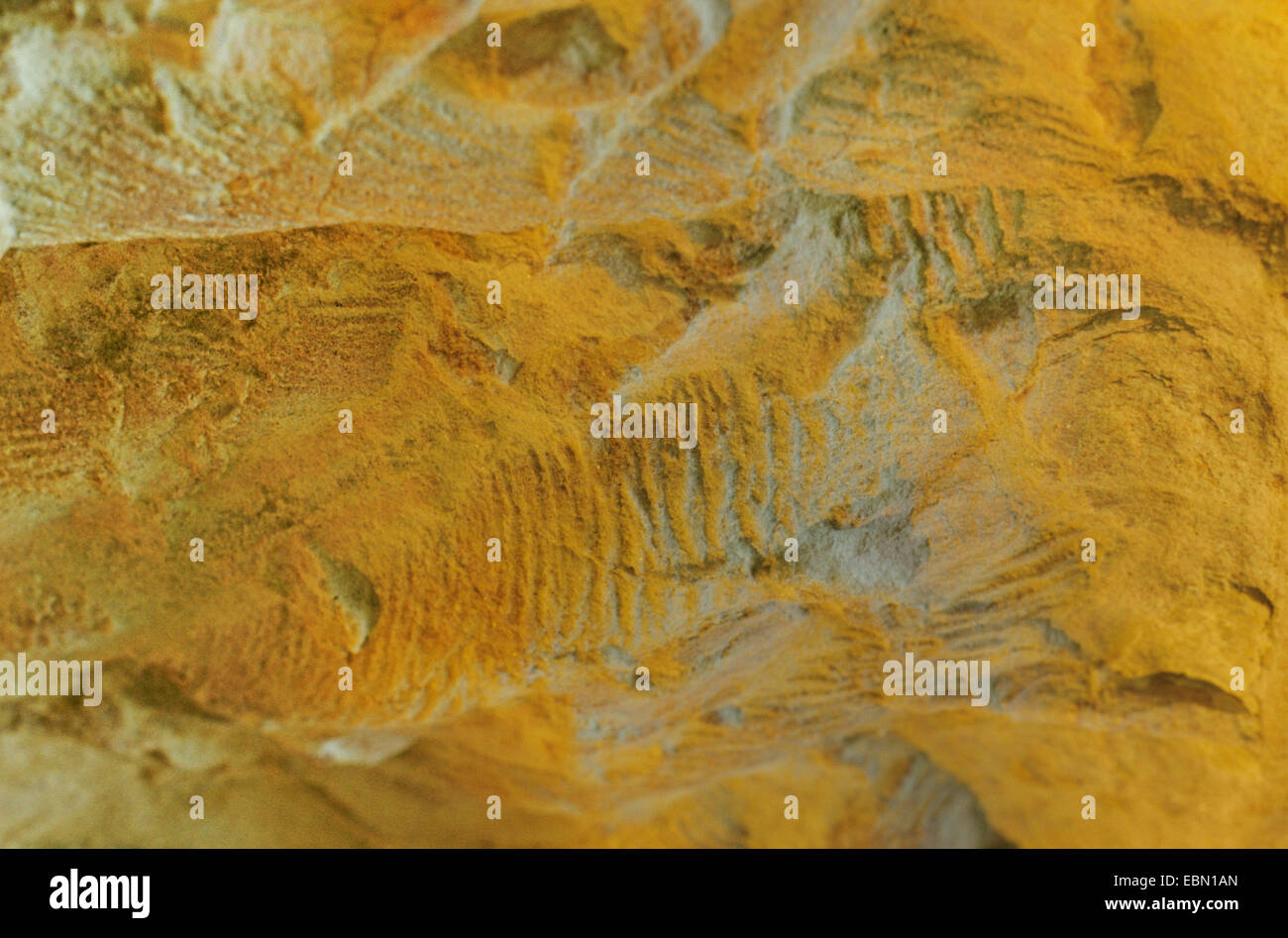 Rusophycus tracks in sandstone - Stock Image