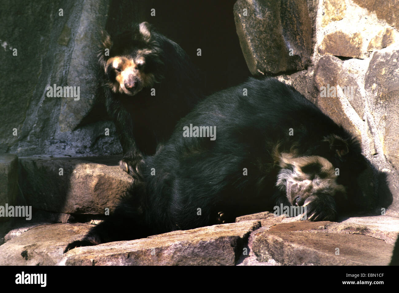 Spectacled bear, Andean bear (Tremarctos ornatus), two Andean bears on a rock - Stock Image