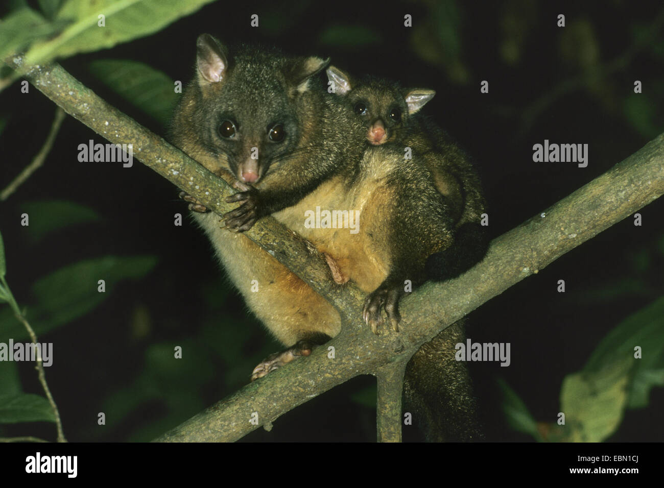 Brush-tailed possum, Brushtail Possom (Trichosurus vulpecula), mother carrying pick-a-back her child - Stock Image