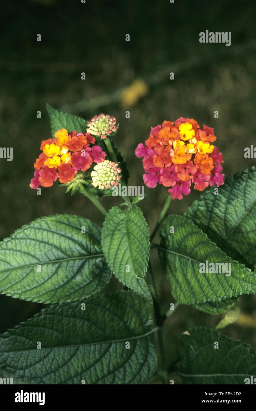 lantana (Lantana camara 'Radiation', Lantana camara Radiation), cultivar Radiation Stock Photo