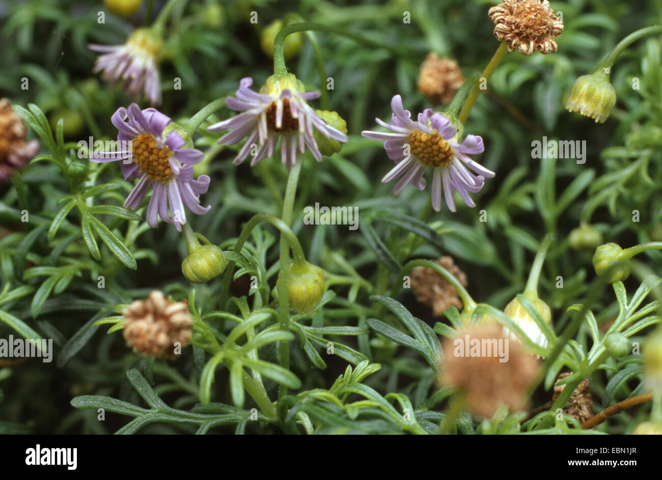 Swan river Daisy, Cut Leaf Daisy (Brachyscome spec.), blooming - Stock Image