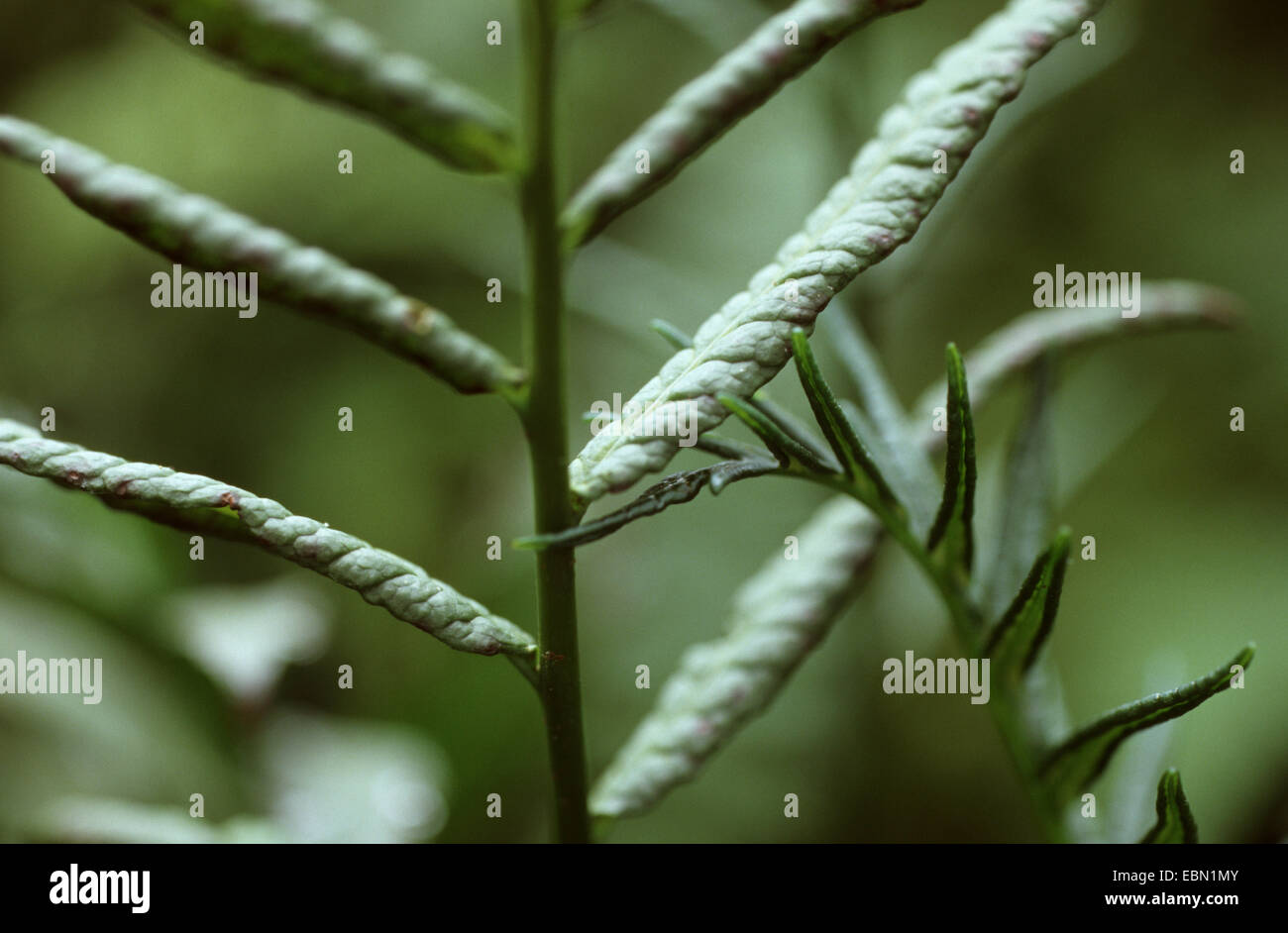 African Water Fern (Bolbitis heudelotii), detail of the frond - Stock Image