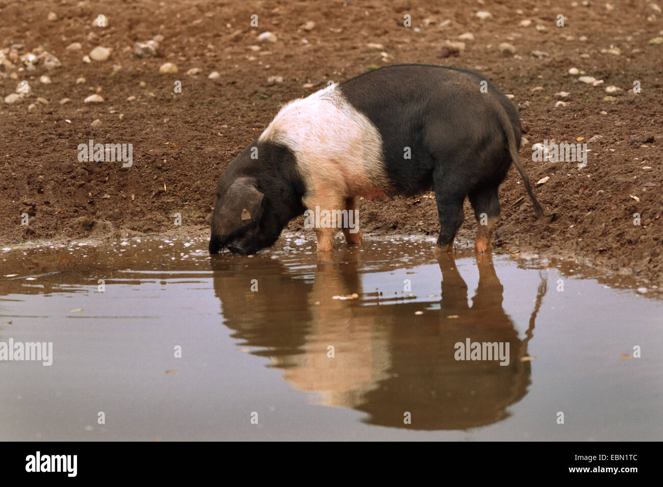 Angeln Saddleback (Sus scrofa f. domestica), drinking in a pond - Stock Image
