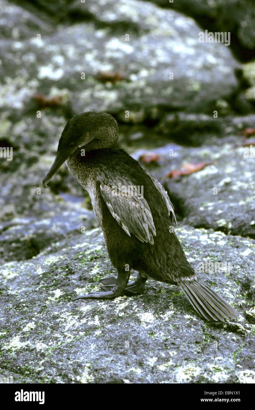 Flightless Cormorant, Galapagos Cormorant (Nannopterum harrisii, Phalacrocorax harrisii), staning on a rock, Ecuador, Stock Photo