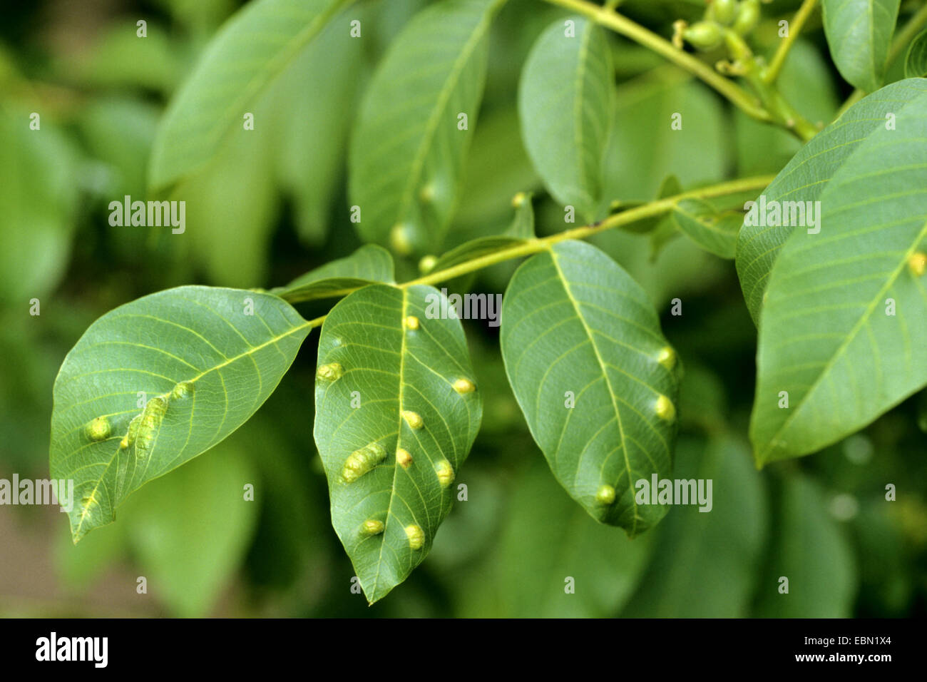 walnut blister mite (Eriophyes erinea, Eriophyes tristriatus), at walnut leaf, Germany - Stock Image