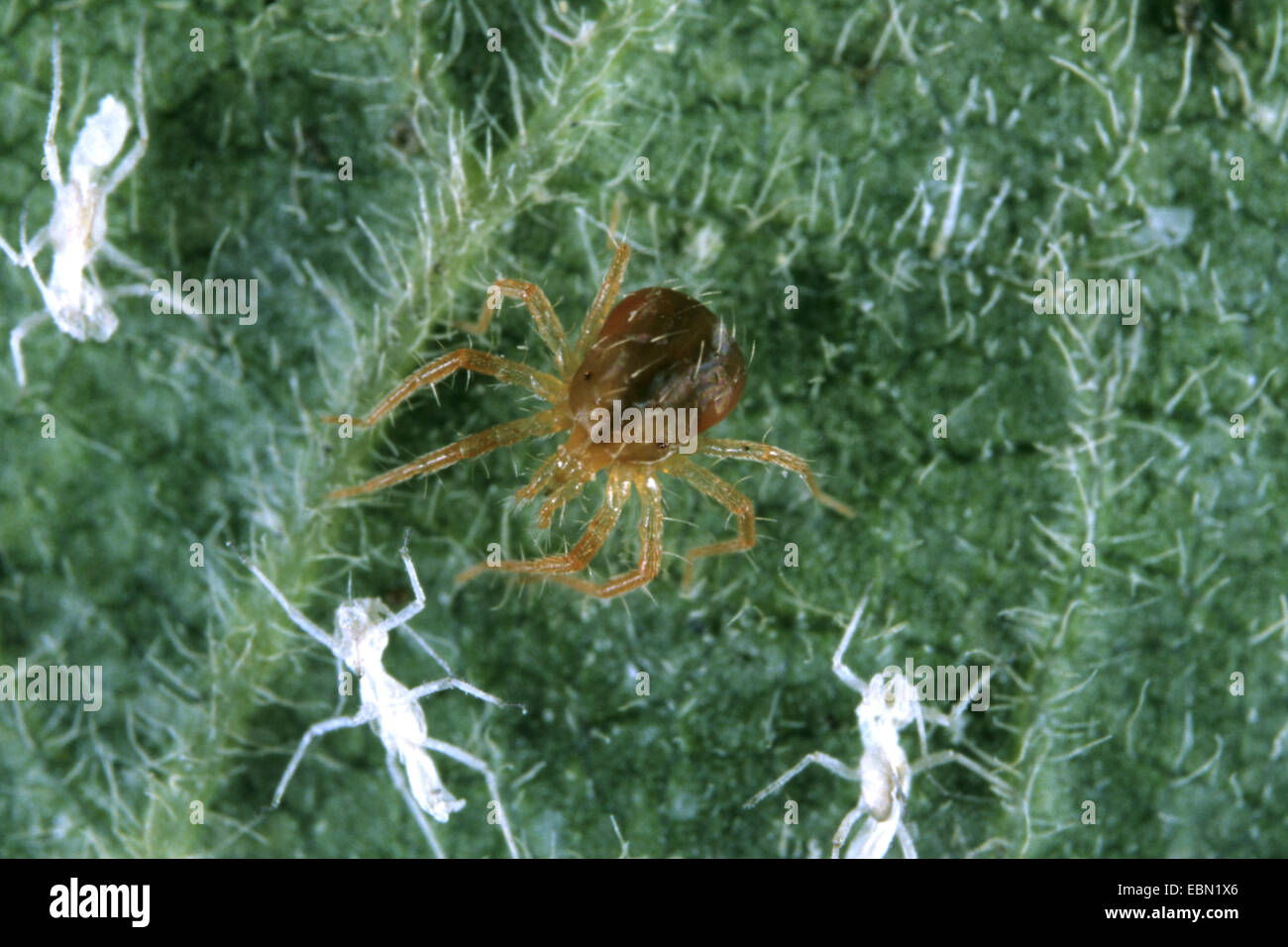 Mite (Anystis agilis), with exhausted prey, Germany - Stock Image