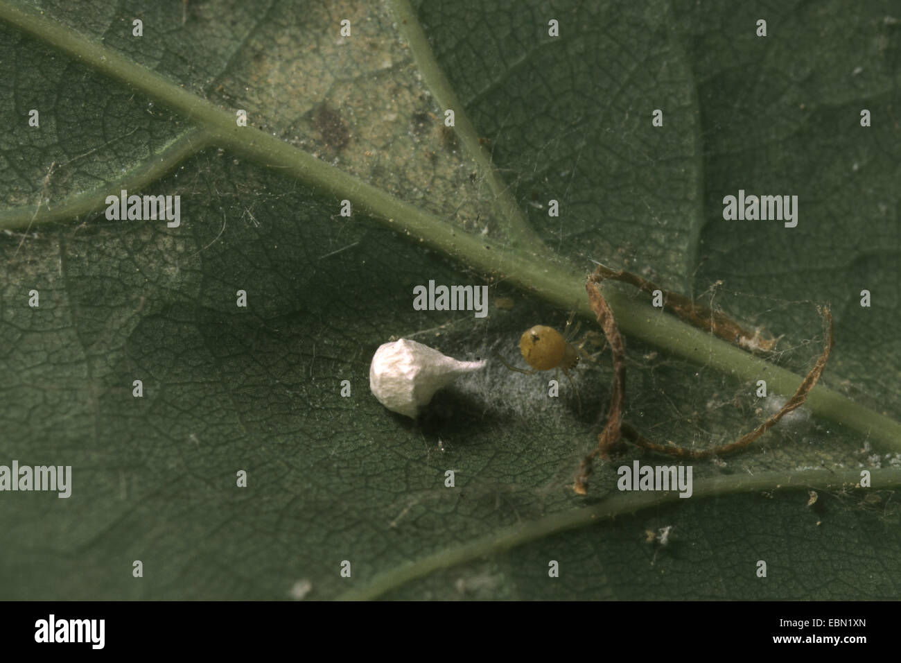 comb-footed spider (Paidiscura pallens, Theridion pallens), spider with cocoon on the underside of a leaf - Stock Image