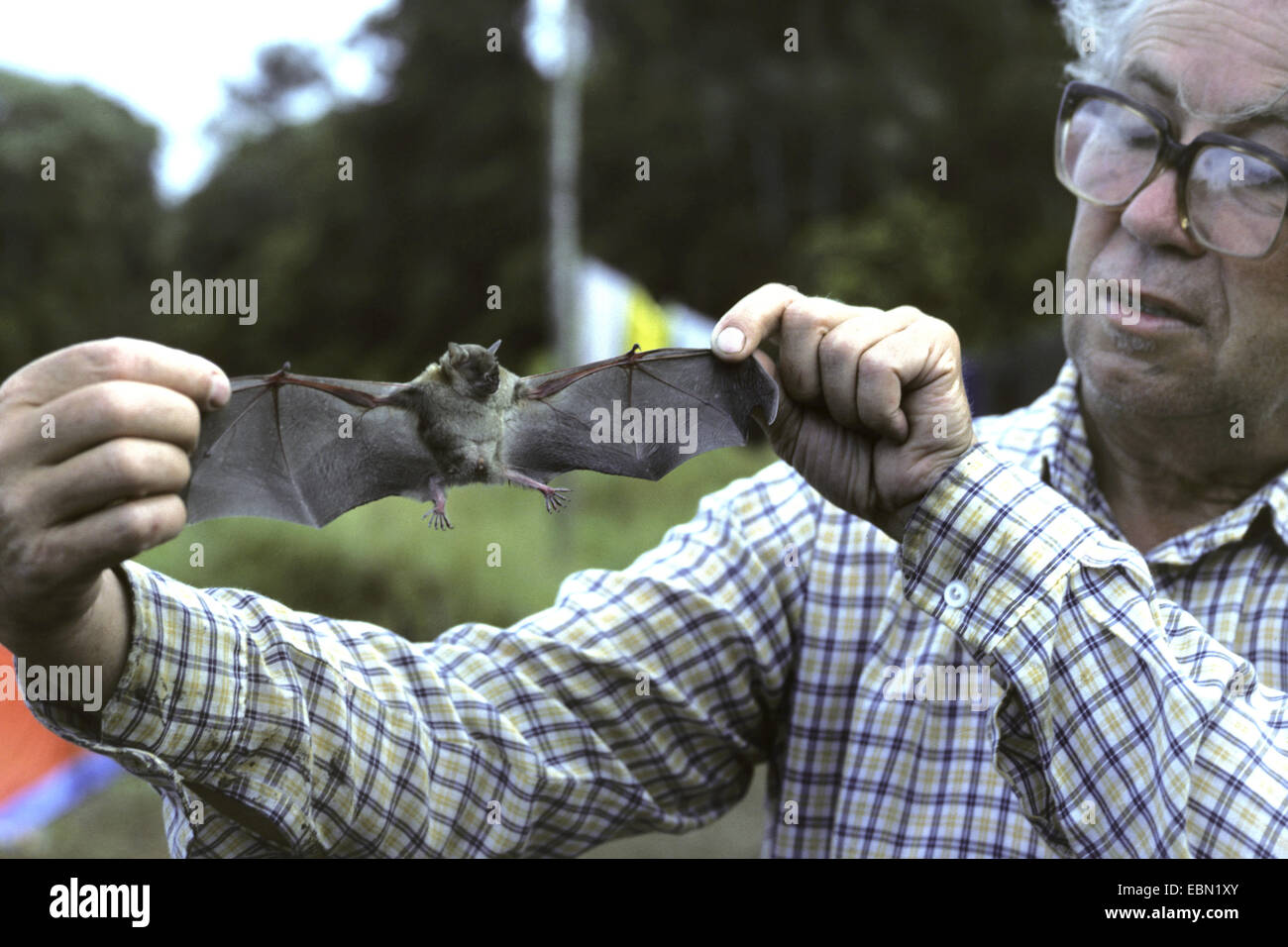 Little Yellow-shouldered Bat (Sturnira spec.), man showing a bat, Ecuador - Stock Image