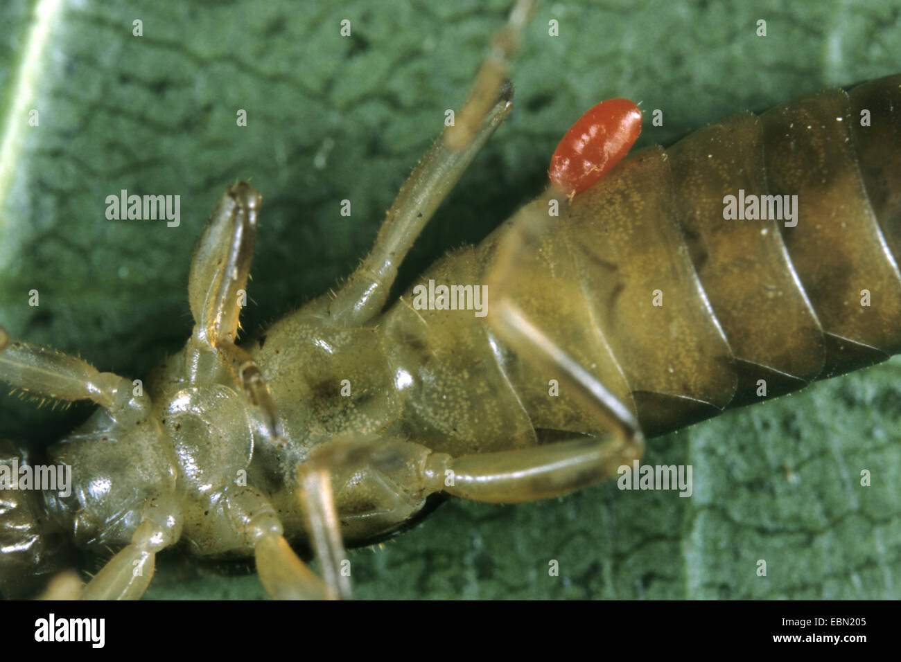 Earwig (Forficula spec.), with parasitic Trombidium larva, Germany - Stock Image