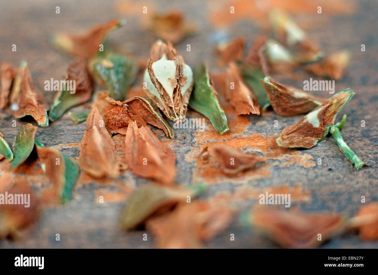 frankincense (Boswellia sacra), fruit with seeds - Stock Image