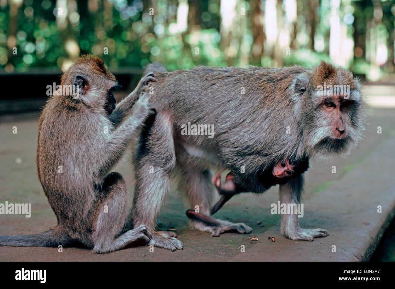 Crab-eating Macaque, Java Macaque, Longtailed Macaque (Macaca fascicularis, Macaca irus), grooming - Stock Image