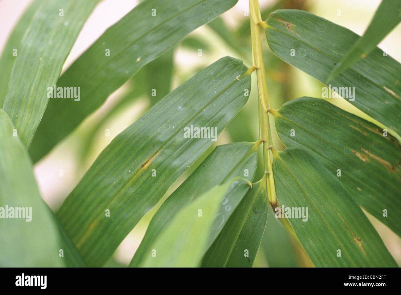 Golden Vivax Bamboo, Vigorous Bamboo (Phyllostachys vivax f. aureocaulis, Phyllostachys vivax 'Aureocaulis', - Stock Image