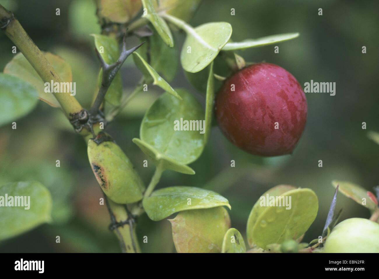 hedge thorn, natal plum (Carissa bispinosa), fruiting - Stock Image