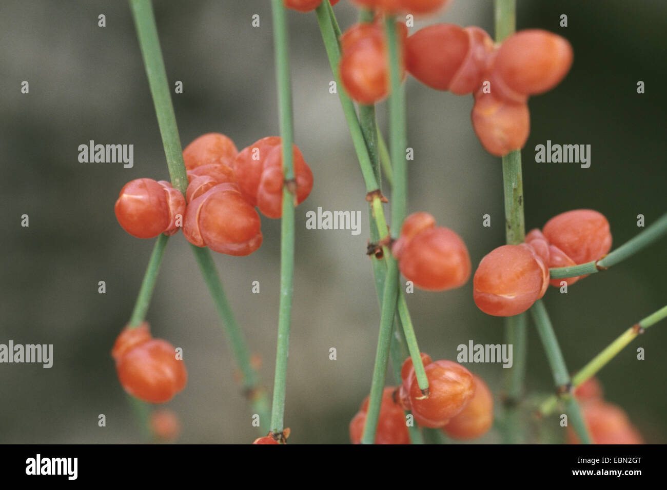 Joint fir (Ephedra altissima), branches with seeds - Stock Image