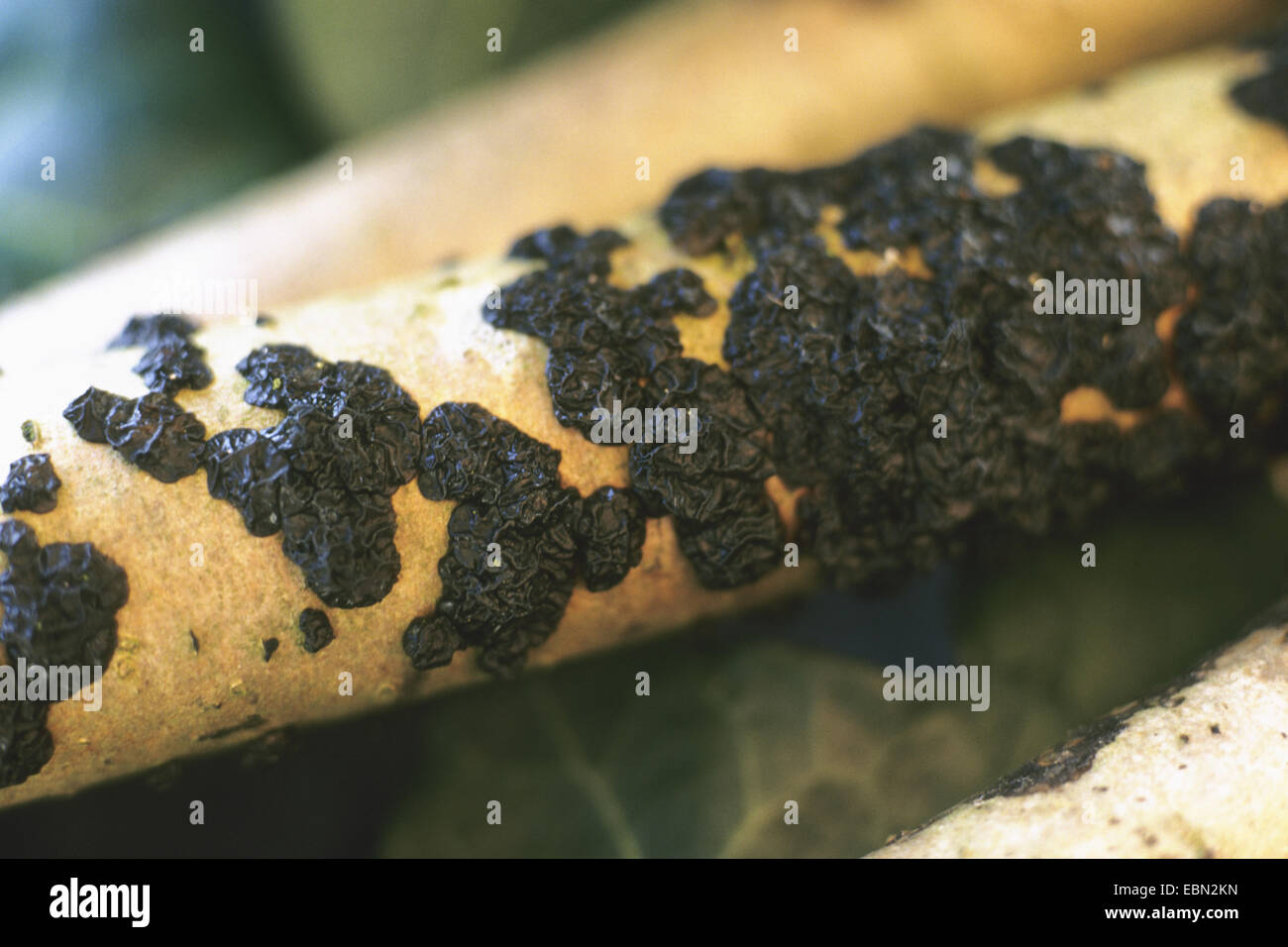 witches' butter (Exidia glandulosa, Exidia truncata), at a branch, Germany - Stock Image