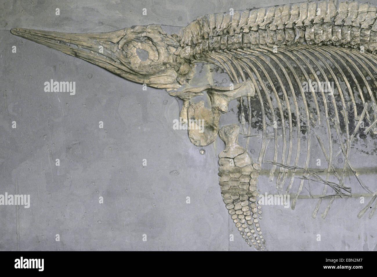 Ichthyosaurus (Ichthyosaurus stenopterygius), fossil of an Ichthyosaurus - Stock Image