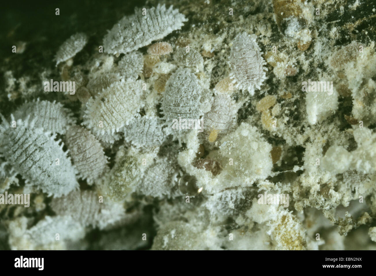 citrus mealybug, common mealybug, citrus scale (Planococcus citri), top view on a group of citrus mealybugs - Stock Image